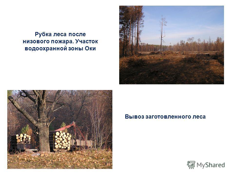 Рубка леса после низового пожара. Участок водоохранной зоны Оки Вывоз заготовленного леса