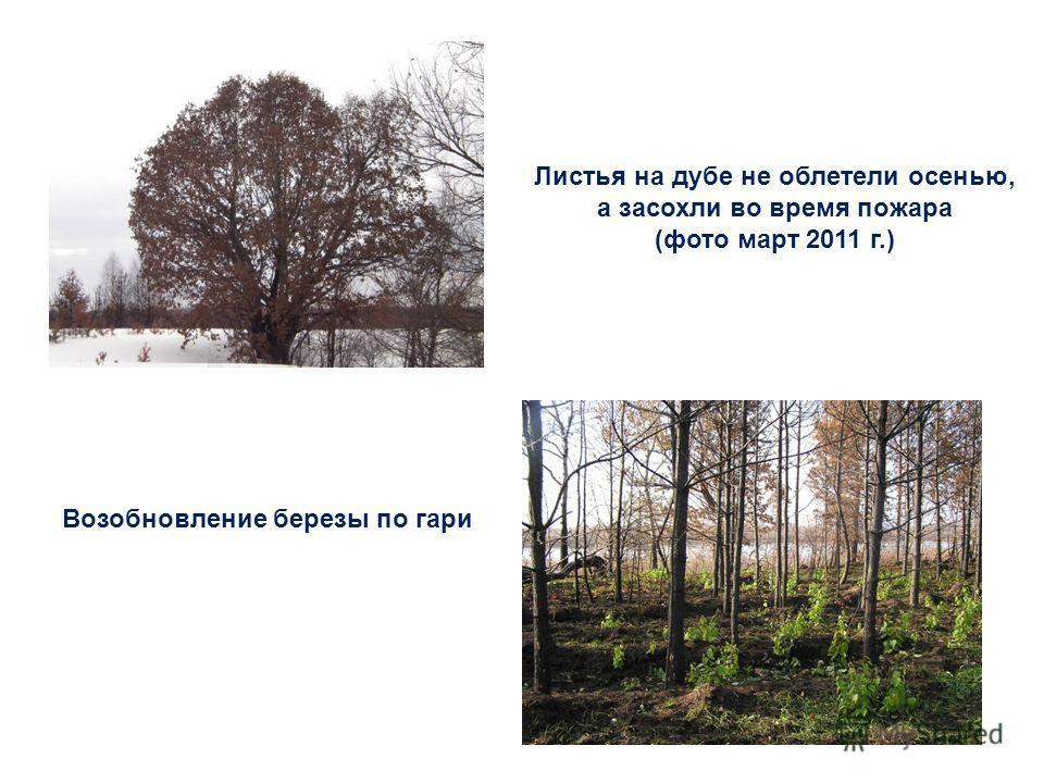 Листья на дубе не облетели осенью, а засохли во время пожара (фото март 2011 г.) Возобновление березы по гари