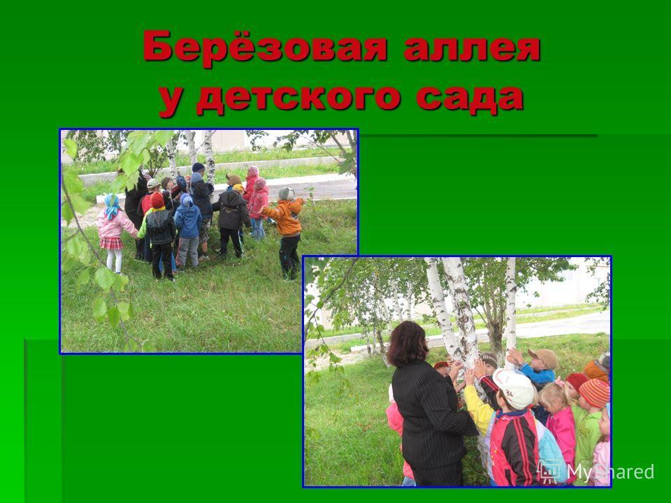 Берёзовая аллея у детского сада