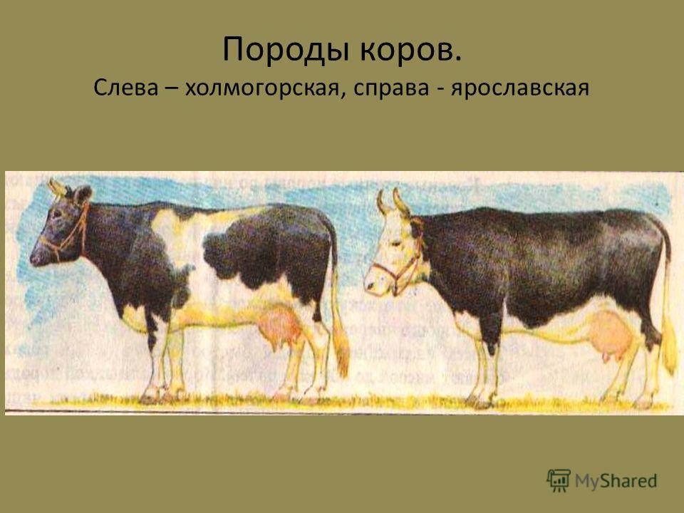 Породы коров. Слева – холмогорская, справа - ярославская
