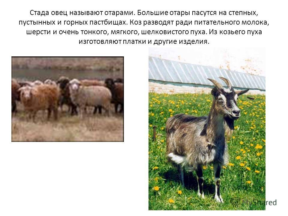 Стада овец называют отарами. Большие отары пасутся на степных, пустынных и горных пастбищах. Коз разводят ради питательного молока, шерсти и очень тонкого, мягкого, шелковистого пуха. Из козьего пуха изготовляют платки и другие изделия.
