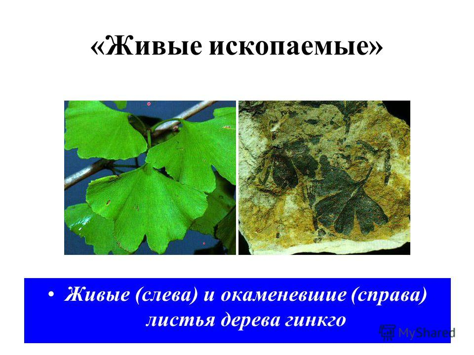 Живые (слева) и окаменевшие (справа) листья дерева гинкго «Живые ископаемые»
