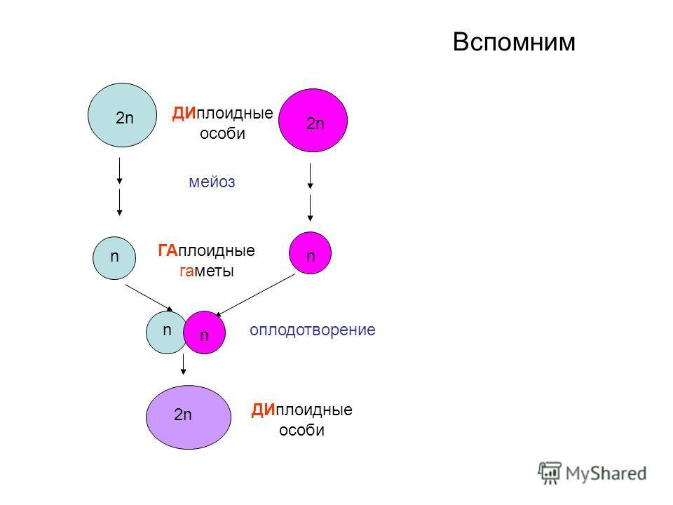 Вспомним 2n2n n 2n2n n n n 2n2n мейоз оплодотворение ДИплоидные особи ГАплоидные гаметы ДИплоидные особи