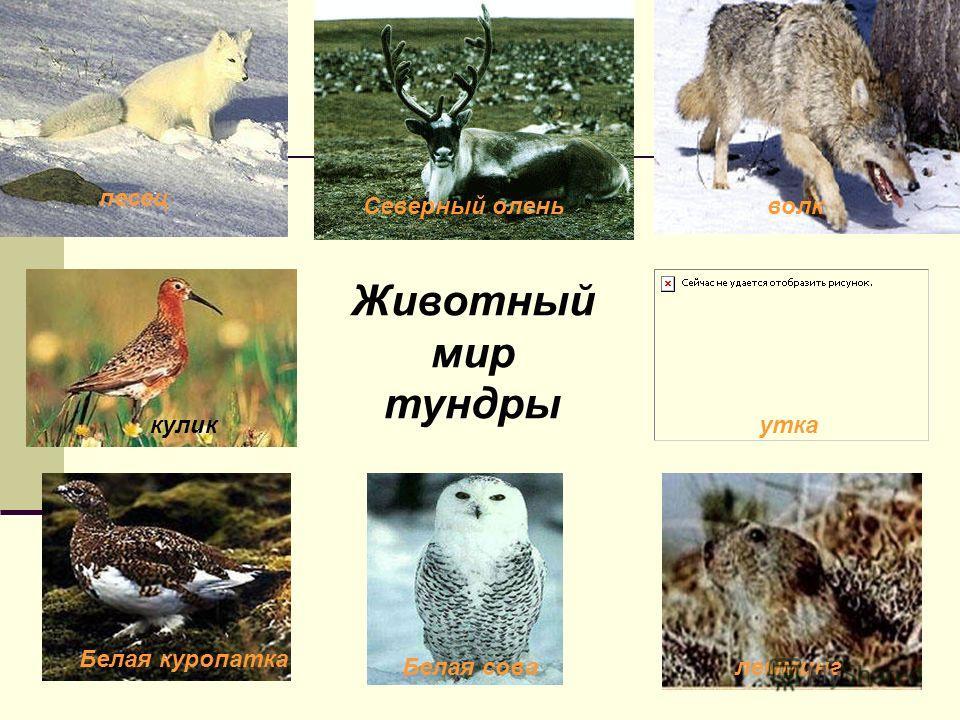 Животный мир тундры песец Северный оленьволк куликутка Белая куропатка леммингБелая сова