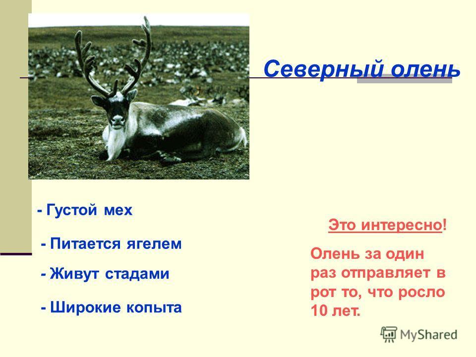 Северный олень - Густой мех - Питается ягелем - Живут стадами - Широкие копыта Это интересно! Олень за один раз отправляет в рот то, что росло 10 лет.