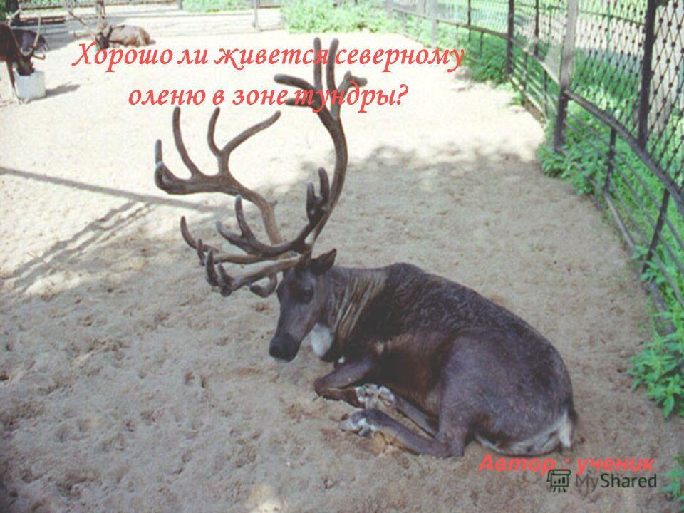Хорошо ли живется северному оленю в зоне тундры? Автор : ученик