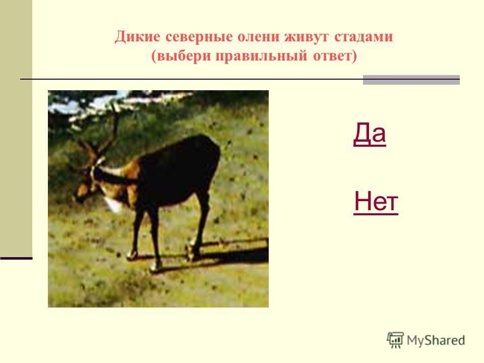 Дикие северные олени живут стадами (выбери правильный ответ) Да Нет