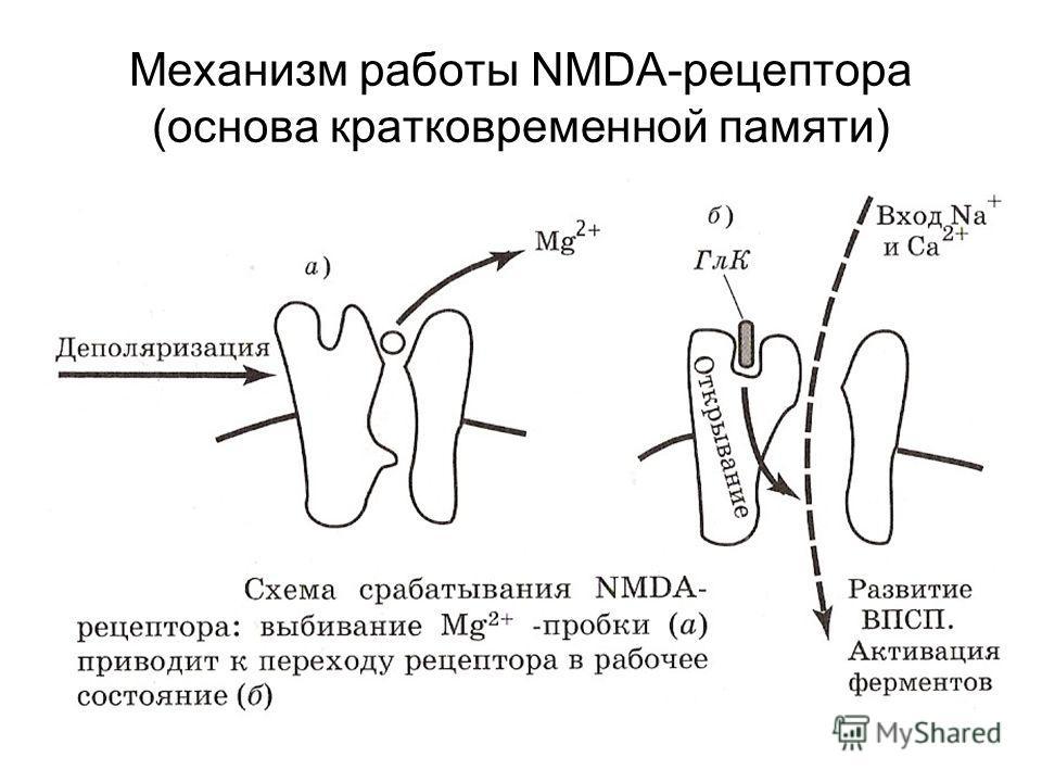 Механизм работы NMDA-рецептора (основа кратковременной памяти)