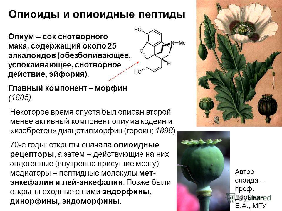 Опиоиды и опиоидные пептиды Опиум – сок снотворного мака, содержащий около 25 алкалоидов (обезболивающее, успокаивающее, снотворное действие, эйфория). Главный компонент – морфин (1805). Некоторое время спустя был описан второй менее активный компоне