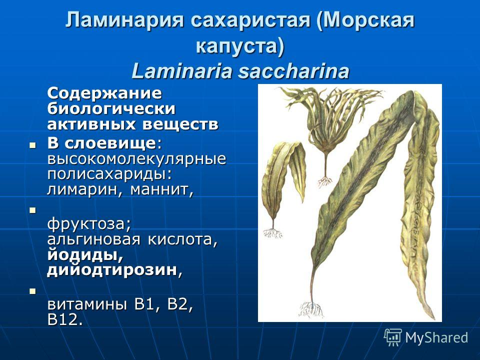 Ламинария сахаристая (Морская капуста) Laminaria saccharina Содержание биологически активных веществ В слоевище: высокомолекулярные полисахариды: лимарин, маннит, В слоевище: высокомолекулярные полисахариды: лимарин, маннит, фруктоза; альгиновая кисл