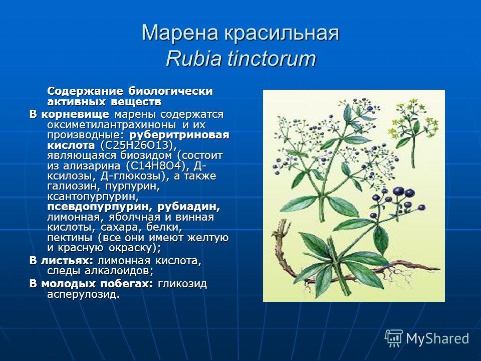 Марена красильная Rubia tinctorum Содержание биологически активных веществ В корневище марены содержатся оксиметилантрахиноны и их производные: рубери