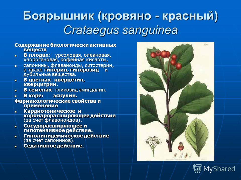 Боярышник (кровяно - красный) Crataegus sanguinea Содержание биологически активных веществ В плодах: урсоловая, олеановая, хлорогеновая, кофейная кисл