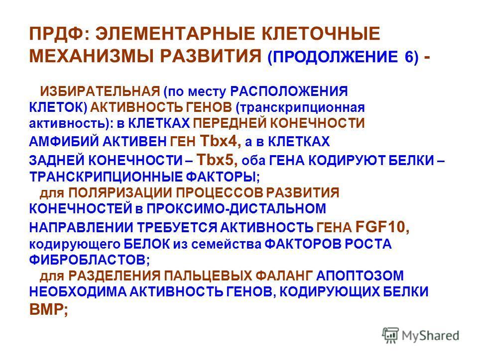 ПРДФ: ЭЛЕМЕНТАРНЫЕ КЛЕТОЧНЫЕ МЕХАНИЗМЫ РАЗВИТИЯ (ПРОДОЛЖЕНИЕ 6) - ИЗБИРАТЕЛЬНАЯ (по месту РАСПОЛОЖЕНИЯ КЛЕТОК) АКТИВНОСТЬ ГЕНОВ (транскрипционная активность): в КЛЕТКАХ ПЕРЕДНЕЙ КОНЕЧНОСТИ АМФИБИЙ АКТИВЕН ГЕН Tbx4, а в КЛЕТКАХ ЗАДНЕЙ КОНЕЧНОСТИ – Tbx
