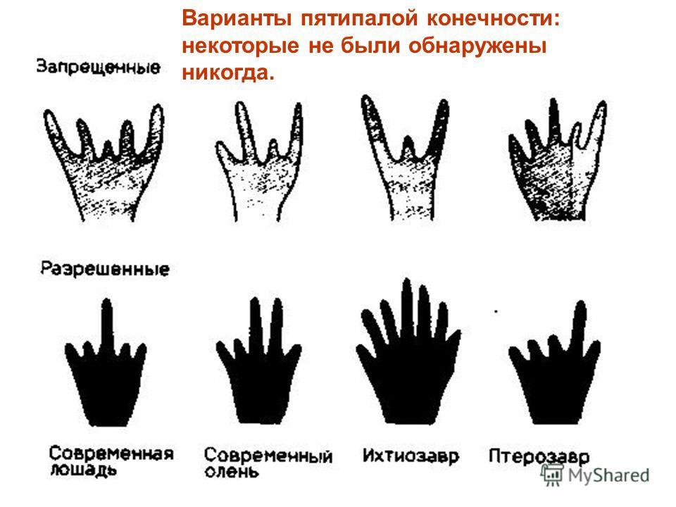 Варианты пятипалой конечности: некоторые не были обнаружены никогда.