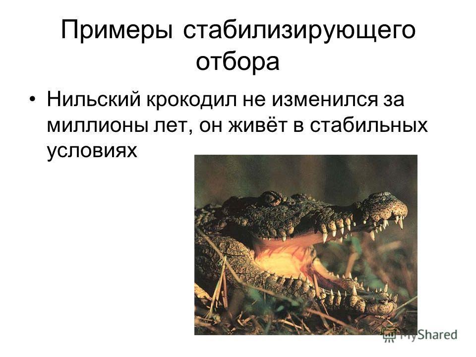 Примеры стабилизирующего отбора Нильский крокодил не изменился за миллионы лет, он живёт в стабильных условиях