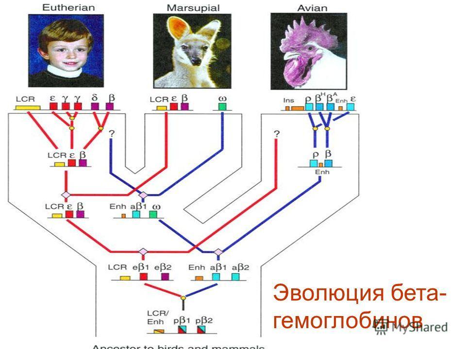 Эволюция бета- гемоглобинов
