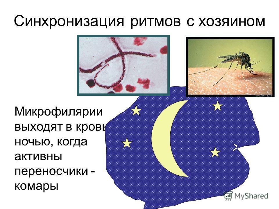 Микрофилярии выходят в кровь ночью, когда активны переносчики - комары Синхронизация ритмов с хозяином