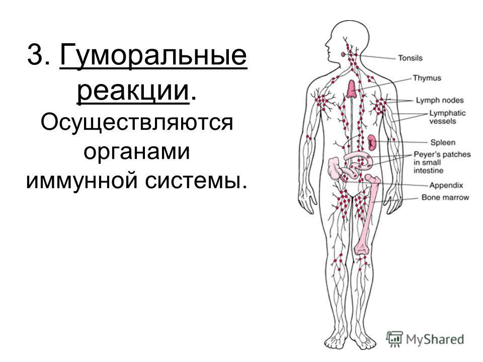3. Гуморальные реакции. Осуществляются органами иммунной системы.