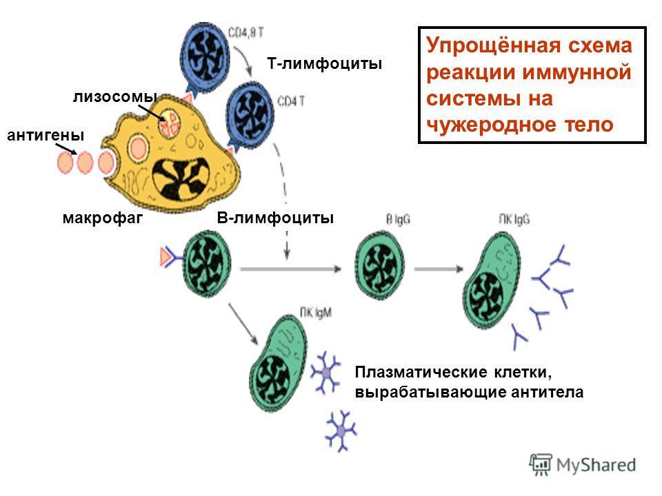 антигены макрофаг Т-лимфоциты В-лимфоциты Плазматические клетки, вырабатывающие антитела Упрощённая схема реакции иммунной системы на чужеродное тело лизосомы