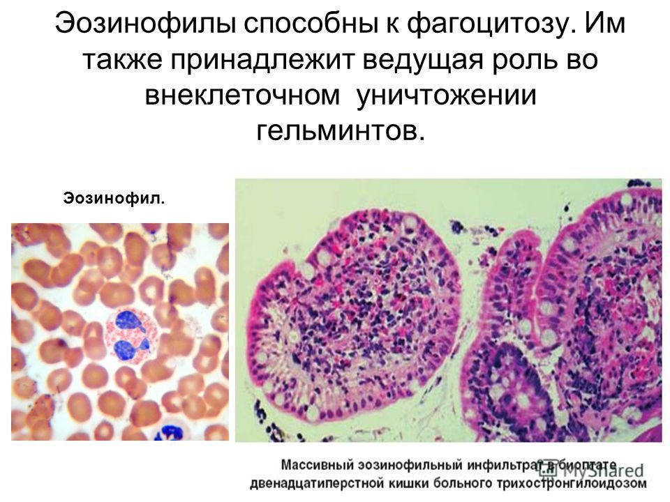 Эозинофилы способны к фагоцитозу. Им также принадлежит ведущая роль во внеклеточном уничтожении гельминтов. Эозинофил.
