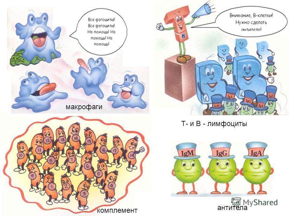 макрофаги комплемент антитела Т- и В - лимфоциты