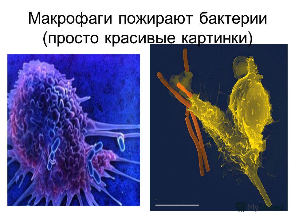 Макрофаги пожирают бактерии (просто красивые картинки)