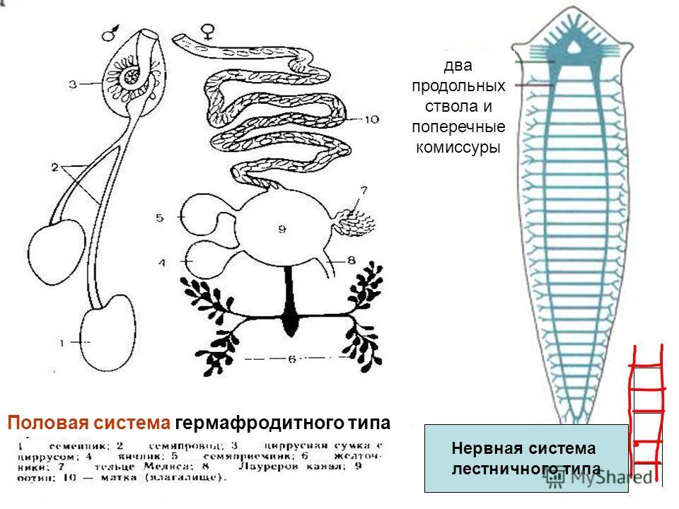 Нервная система лестничного типа Половая система гермафродитного типа два продольных ствола и поперечные комиссуры