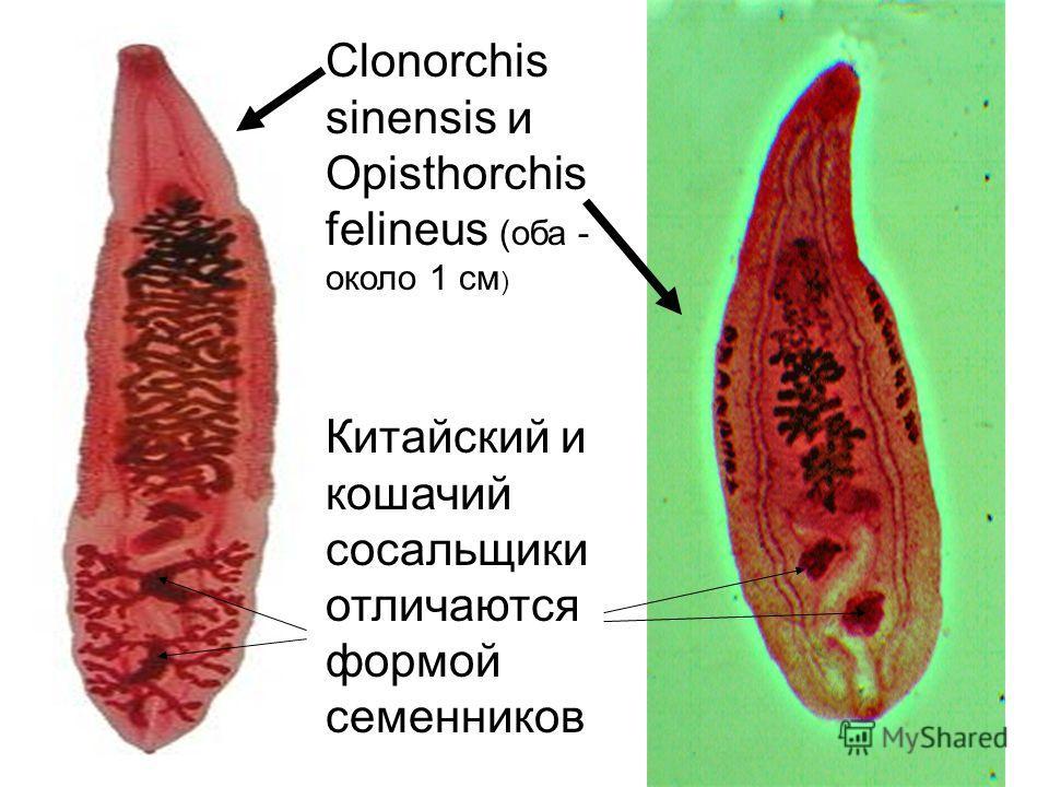 Clonorchis sinensis и Opisthorchis felineus (оба - около 1 см ) Китайский и кошачий сосальщики отличаются формой семенников