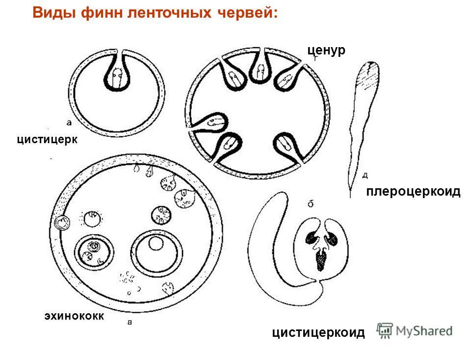 Виды финн ленточных червей: цистицеркоид ценур плероцеркоид эхинококк цистицерк