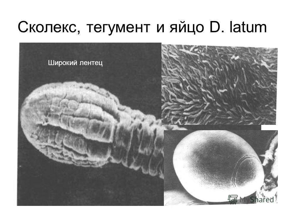 Сколекс, тегумент и яйцо D. latum Широкий лентец