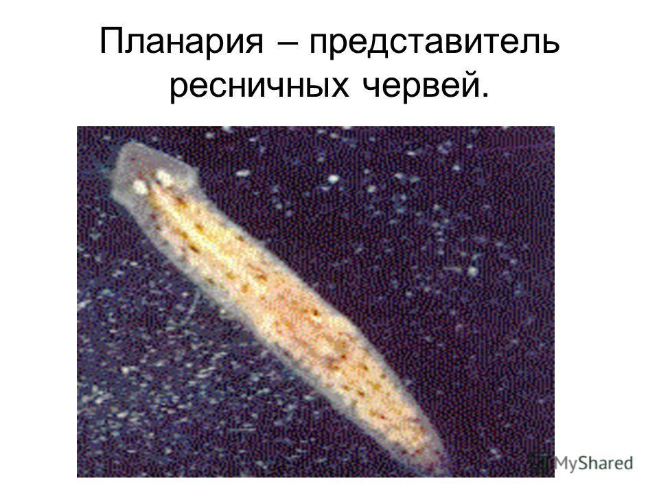 Планария – представитель ресничных червей.