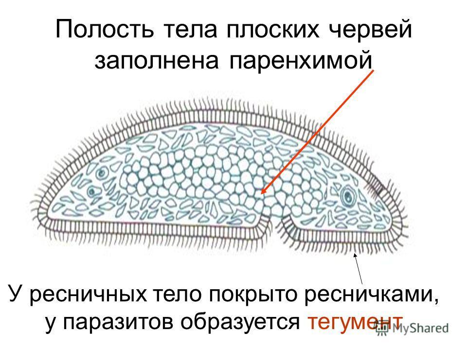Полость тела плоских червей заполнена паренхимой У ресничных тело покрыто ресничками, у паразитов образуется тегумент