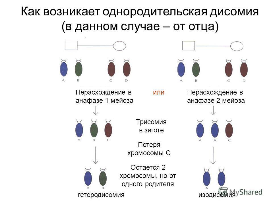 Как возникает однородительская дисомия (в данном случае – от отца) Нерасхождение в анафазе 1 мейоза Нерасхождение в анафазе 2 мейоза Трисомия в зиготе Потеря хромосомы С Остается 2 хромосомы, но от одного родителя или гетеродисомияизодисомия