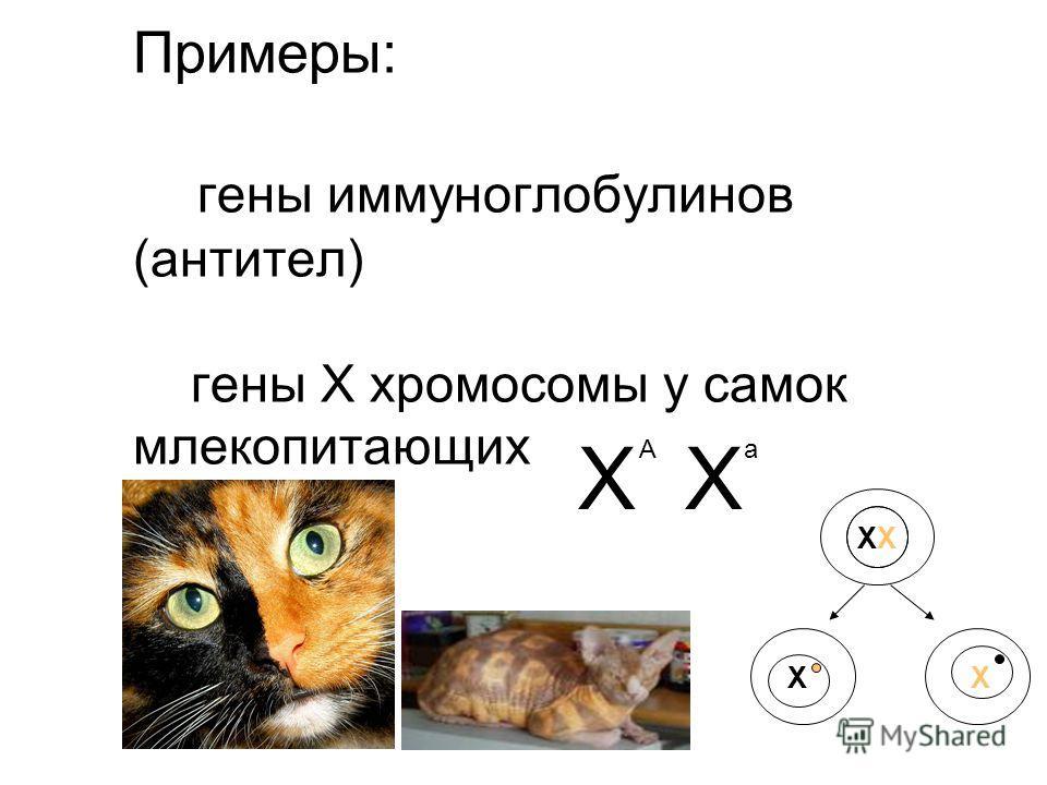 Примеры: гены иммуноглобулинов (антител) гены Х хромосомы у самок млекопитающих Х Аа Х ХХ