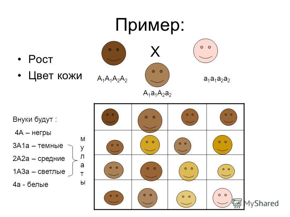 Пример: Рост Цвет кожи Х А1А1А2А2А1А1А2А2 а1а1а2а2а1а1а2а2 А1а1А2а2А1а1А2а2 Внуки будут : 4А – негры 3А1а – темные 2А2а – средние 1А3а – светлые 4а - белые мулатымулаты