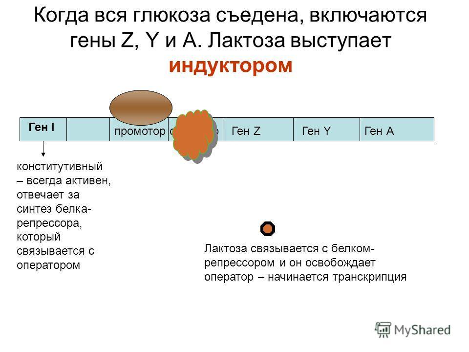 Когда вся глюкоза съедена, включаются гены Z, Y и А. Лактоза выступает индуктором Ген I промотор оператор конститутивный – всегда активен, отвечает за синтез белка- репрессора, который связывается с оператором Ген ZГен YГен А Лактоза связывается с бе