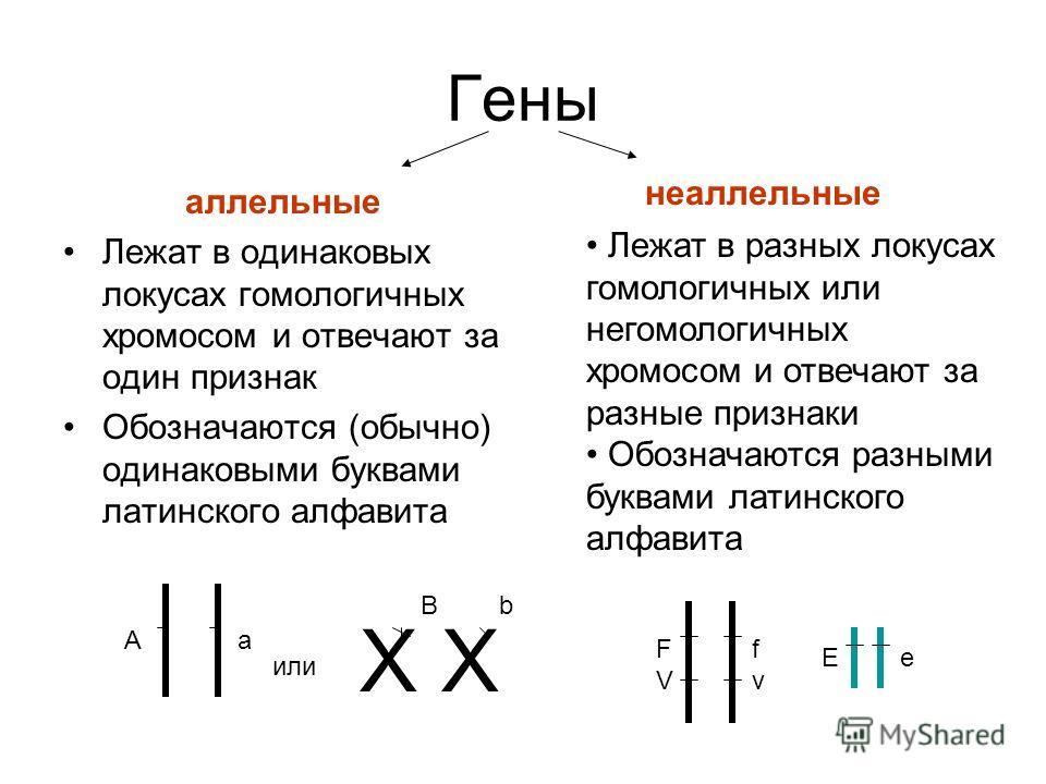 Гены аллельные Лежат в одинаковых локусах гомологичных хромосом и отвечают за один признак Обозначаются (обычно) одинаковыми буквами латинского алфавита неаллельные Лежат в разных локусах гомологичных или негомологичных хромосом и отвечают за разные