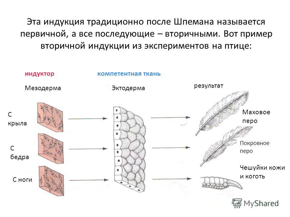 Эта индукция традиционно после Шпемана называется первичной, а все последующие – вторичными. Вот пример вторичной индукции из экспериментов на птице: МезодермаЭктодерма индукторкомпетентная ткань результат Чешуйки кожи и коготь Маховое перо Покровное