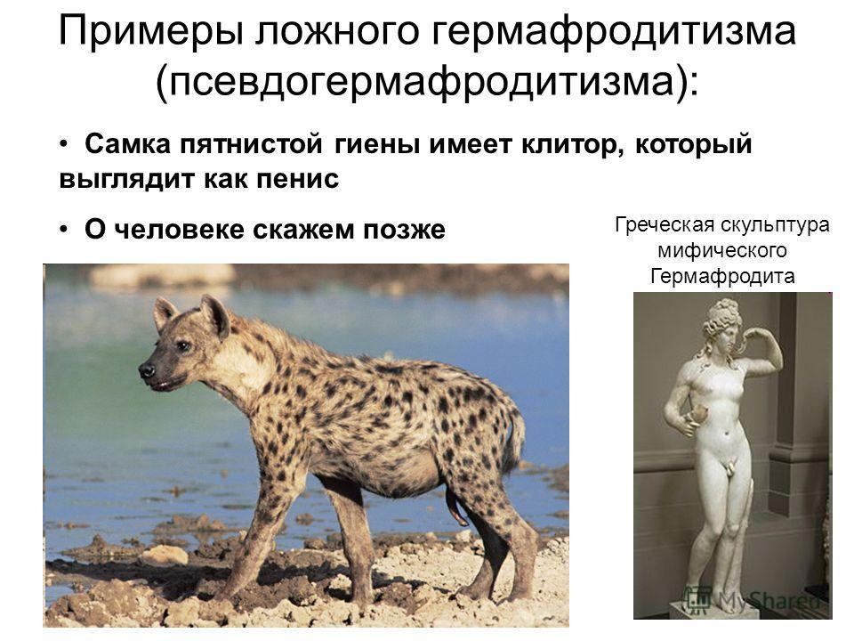 Примеры ложного гермафродитизма (псевдогермафродитизма): Самка пятнистой гиены имеет клитор, который выглядит как пенис О человеке скажем позже Греческая скульптура мифического Гермафродита