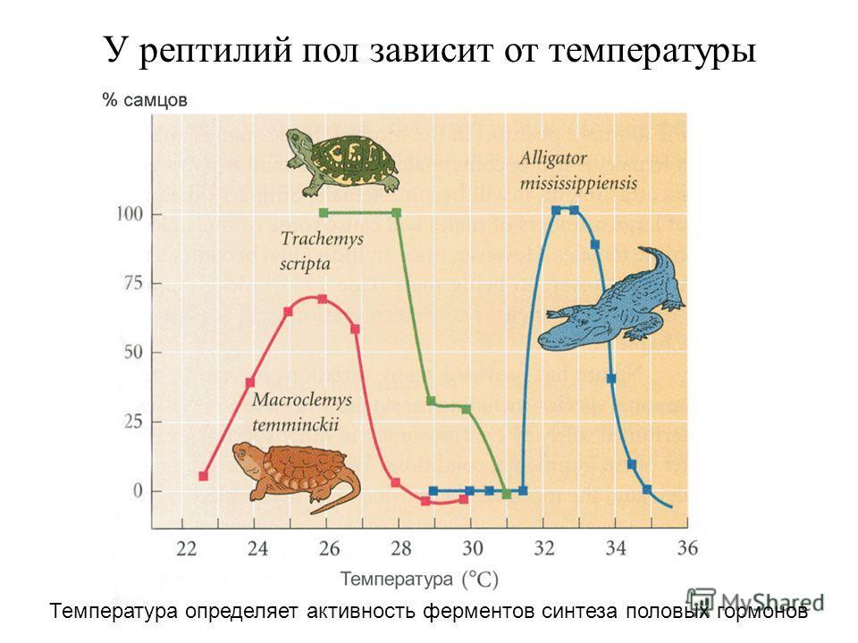 У рептилий пол зависит от температуры Температура определяет активность ферментов синтеза половых гормонов