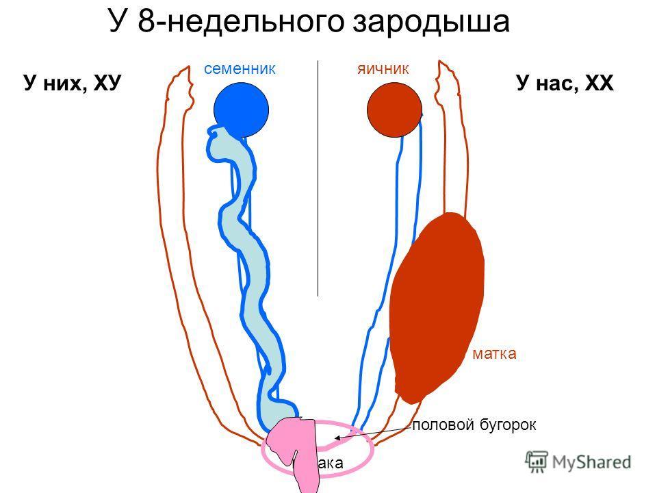 У 8-недельного зародыша У них, ХУУ нас, ХХ клоака половой бугорок яичниксеменник матка