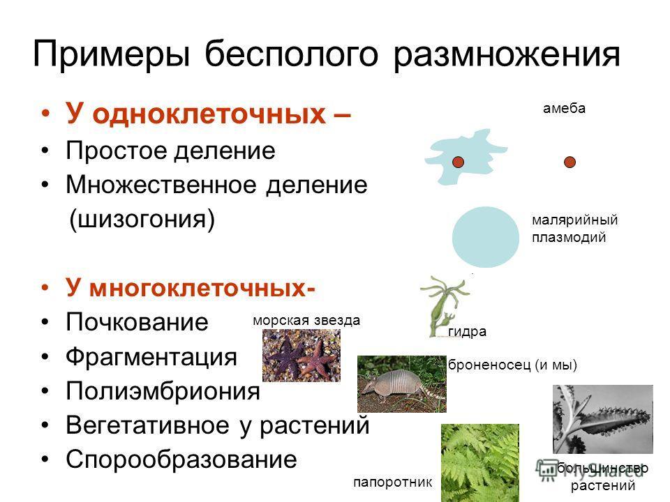Примеры бесполого размножения У одноклеточных – Простое деление Множественное деление (шизогония) У многоклеточных- Почкование Фрагментация Полиэмбриония Вегетативное у растений Спорообразование амеба малярийный плазмодий гидра морская звезда папорот
