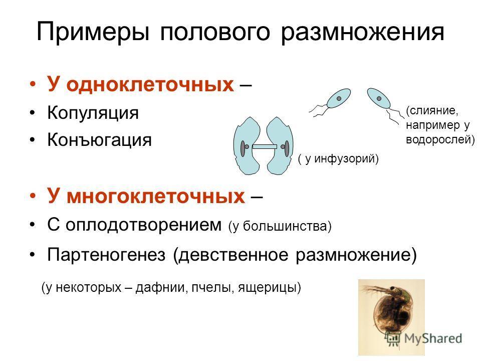 Примеры полового размножения У одноклеточных – Копуляция Конъюгация У многоклеточных – С оплодотворением (у большинства) Партеногенез (девственное размножение) (у некоторых – дафнии, пчелы, ящерицы) ( у инфузорий) (слияние, например у водорослей)