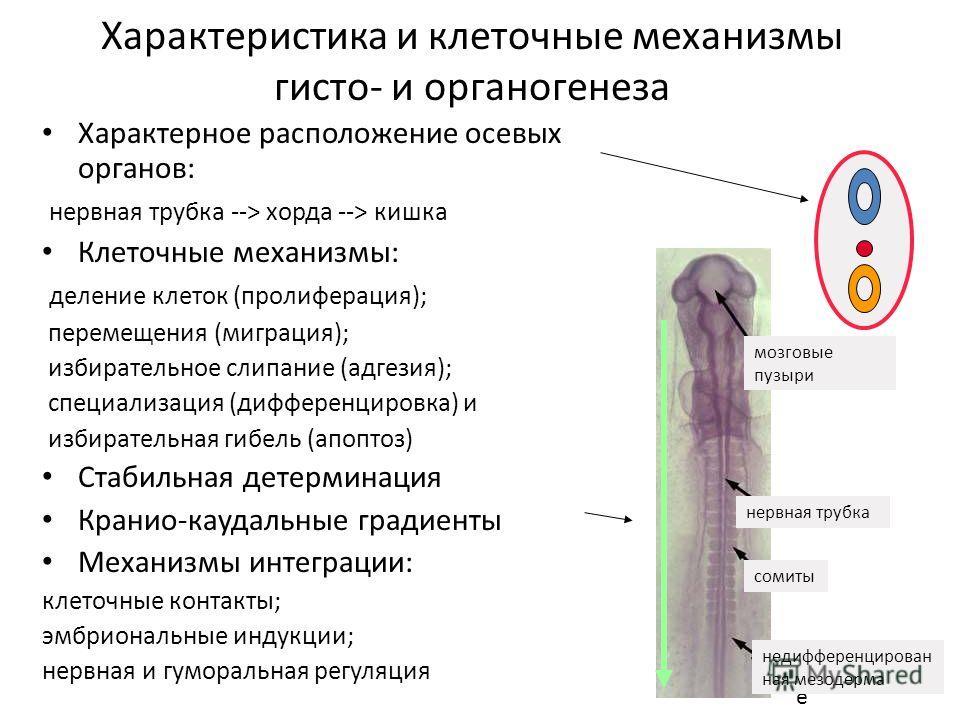 Характеристика и клеточные механизмы гисто- и органогенеза Характерное расположение осевых органов: нервная трубка --> хорда --> кишка Клеточные механизмы: деление клеток (пролиферация); перемещения (миграция); избирательное слипание (адгезия); специ