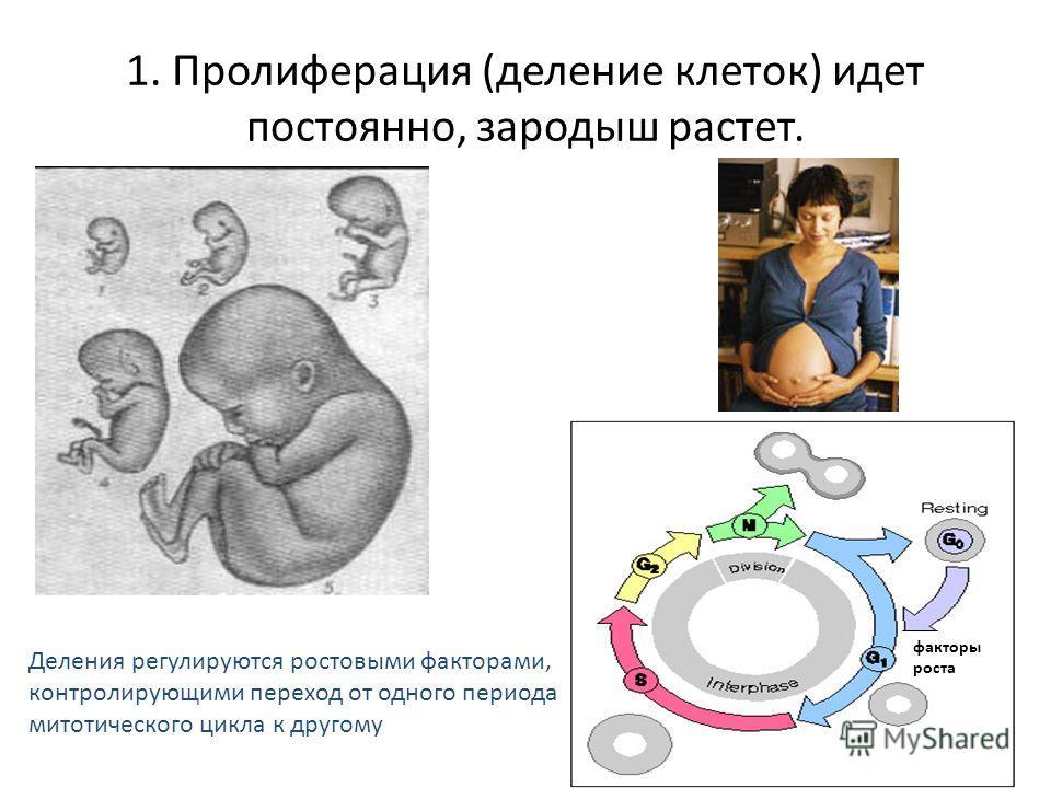 1. Пролиферация (деление клеток) идет постоянно, зародыш растет. Деления регулируются ростовыми факторами, контролирующими переход от одного периода митотического цикла к другому Не надо запоминать! факторы роста
