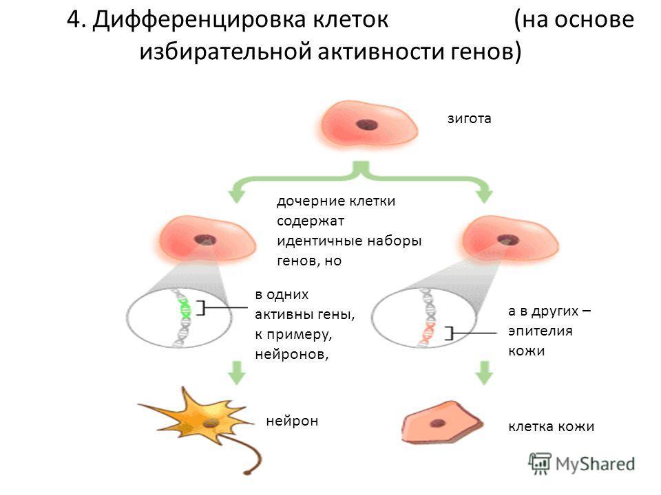 4. Дифференцировка клеток (на основе избирательной активности генов) зигота дочерние клетки содержат идентичные наборы генов, но в одних активны гены, к примеру, нейронов, а в других – эпителия кожи нейрон клетка кожи