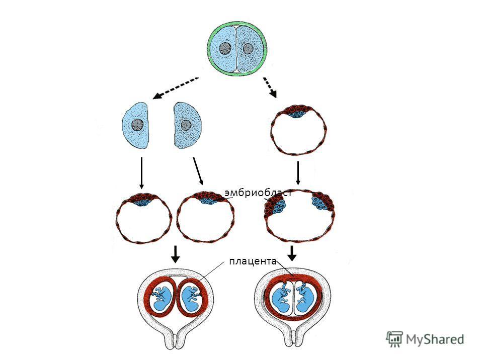 эмбриобласт плацента