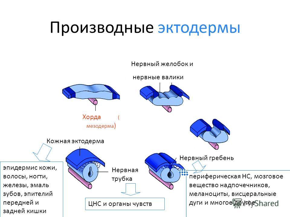 Производные эктодермы Хорда ( мезодерма ) Нервный желобок и нервные валики Кожная эктодерма Нервная трубка Нервный гребень эпидермис кожи, волосы, ногти, железы, эмаль зубов, эпителий передней и задней кишки ЦНС и органы чувств периферическая НС, моз