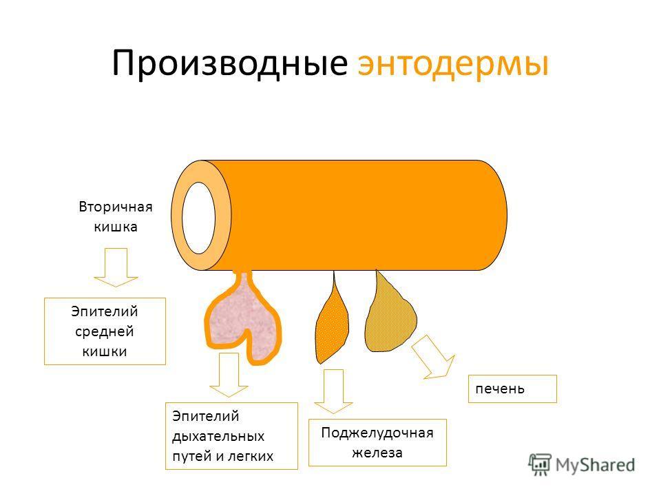 Производные энтодермы Вторичная кишка Эпителий средней кишки Эпителий дыхательных путей и легких печень Поджелудочная железа