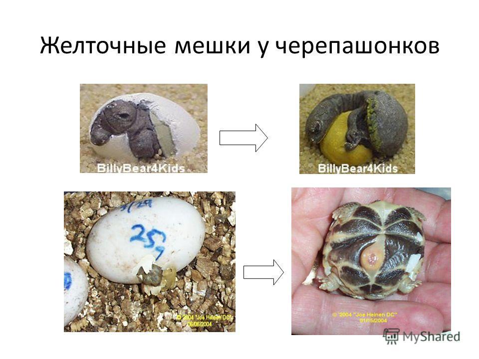 Желточные мешки у черепашонков
